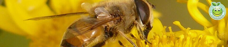 La Abeja Insectos Antofilos