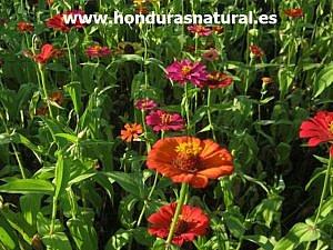 Campo de Zinnias Honduras