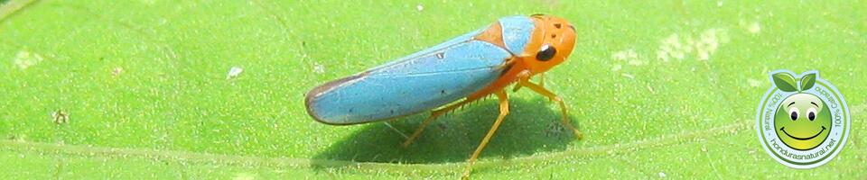Los Cicadelidos