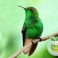 Colibri Esmeralda Hondureno