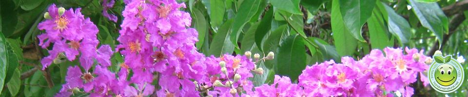 Arbol Reina de Las Flores