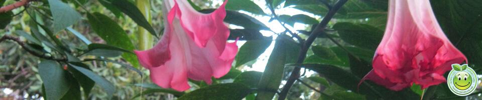 Floricunda Brugmansia arborea