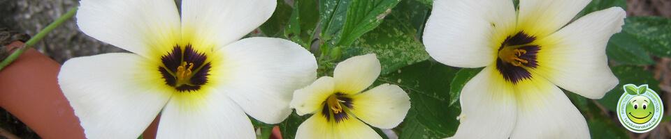 Flor Turnera subulata o de ojos pardos