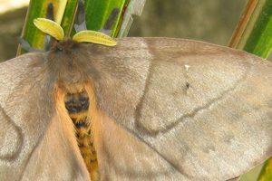 foto-periphoba-arcaei-hemileucine-giant-silkmoth-honduras-mariposa