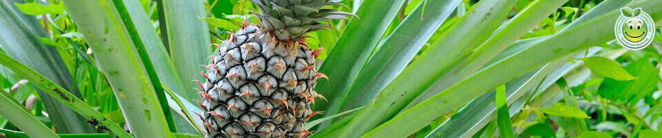 Piña Ananas comosus