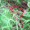 Honduras Natural Serpientes Culebra Coral Honduras