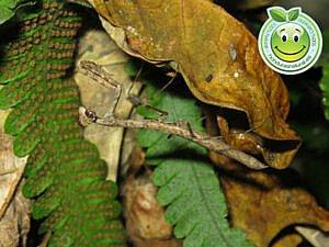 Mantis Religiosa Honduras Natural
