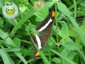 Mariposa Adelpha Iphiclus Iphiclus
