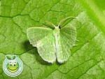 Mariposa Geometra Esmeralda