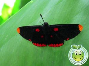 Mariposa Melanis pixe sanguinea posa bajo una hoja para protegerse