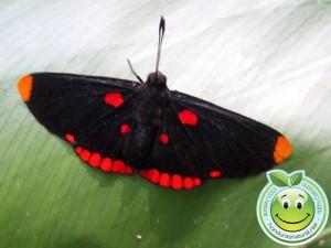 Mariposa Melanis pixe sanguinea con sus bellos colores negro, rojo y naranja