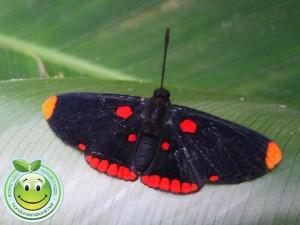 Mariposa Melanis pixe sanguinea generalmente se posa abajo de las hojas para protegerse