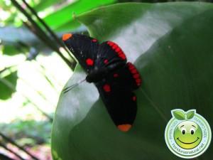 Mariposa Melanis pixe sanguinea  posando sobre una hoja