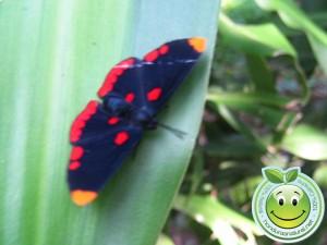Mariposa Melanis pixe sanguinea  posando sobre hoja