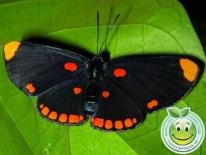 Mariposa Melanis pixe sanguinea  recien salida de su capullo