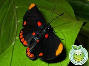 Hermosa Mariposa Melanis pixe sanguinea  adulta