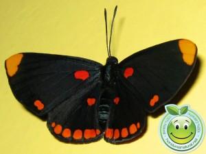 Mariposa Melanis pixe sanguinea  adulta