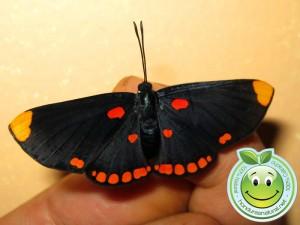 Mariposa Melanis Pixe Sanguinea
