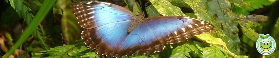 Mariposa Morpho menelaus