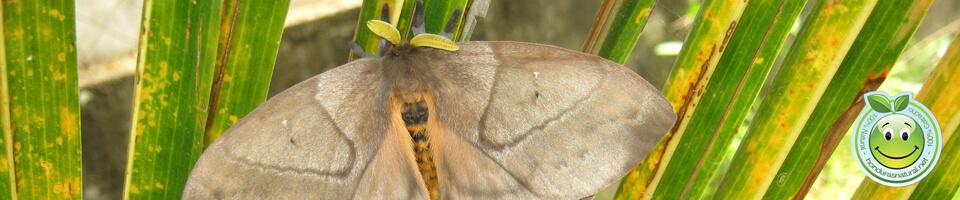 Mariposa Periphoba arcaei