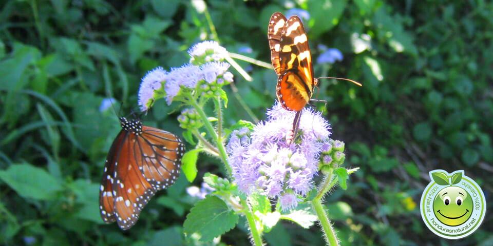 Honduras Blog Mariposa Monarca y Mechanitis Polymnia