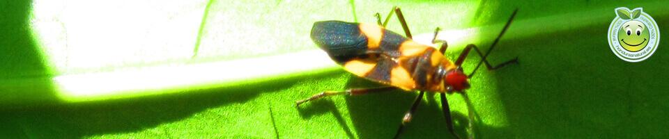 Chinche Oncopeltus fasciatus