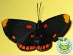 Lepidoptera Mariposas
