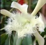 Orquidea Rhyncholaelia Digbyana, flor nacional de Honduras