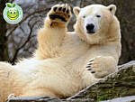 Oso Polar Ursus maritimus