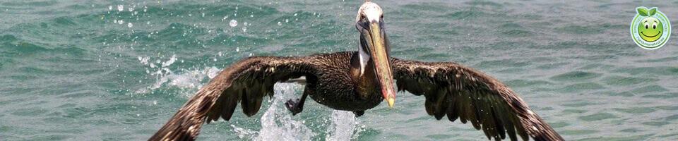 Pelicano Pelecanus