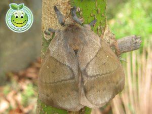 Mariposa o polilla conejo hembra Periphoba arcaei Honduras