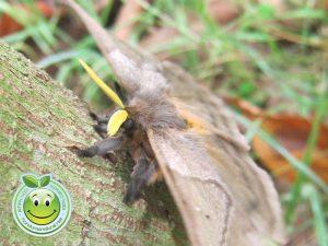Mariposa conejito hembra Periphoba arcaei Honduras