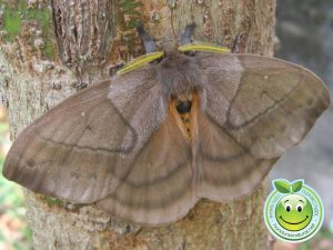 Periphoba arcaei Mariposa hembra Honduras Giant silkmoth