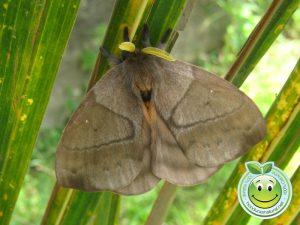 Honduran Giant silkmoth Mariposa Nocturna Periphoba arcaei Honduras