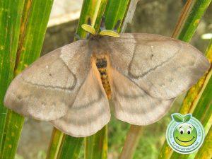 periphoba arcaei hemileucine giant silkmoth honduras mariposa