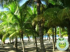 Palmeras a la orilla de la hermosa playa de Tela Honduras