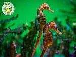 Caballito de Mar Hippocampus