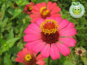 Flor Zinnias Honduras Natural