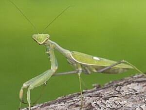 Vídeo Mantis Religosa
