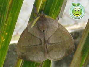 Mariposa hembra Periphoba arcaei Honduras