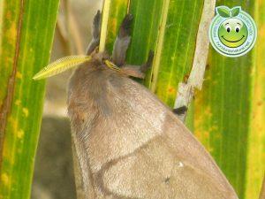 Giant silkmoth Mariposa Nocturna Periphoba arcaei Honduras