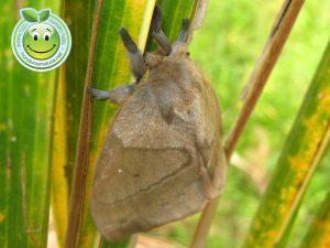 Mariposa Nocturna Periphoba arcaei Honduras giant silkmoth