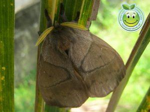 Bella Mariposa Nocturna Periphoba arcaei Honduras giant silkmoth