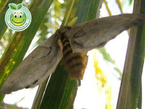 Bella Mariposa Nocturna Periphoba arcaei Honduras