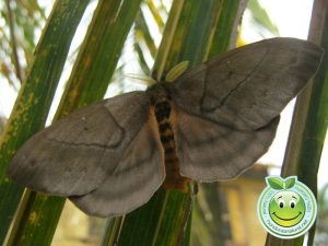 Mariposa Periphoba arcaei hemileucine giant silkmoth Honduras mariposa