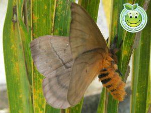 Mariposa Periphoba arcaei Honduras giant silkmoth