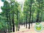 Pinus Oocarpa, Árbol Nacional de Honduras