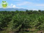 Palma Africana Elaeis Guineensis