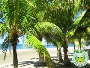 Palmeras en Playa municipal de Tela Honduras